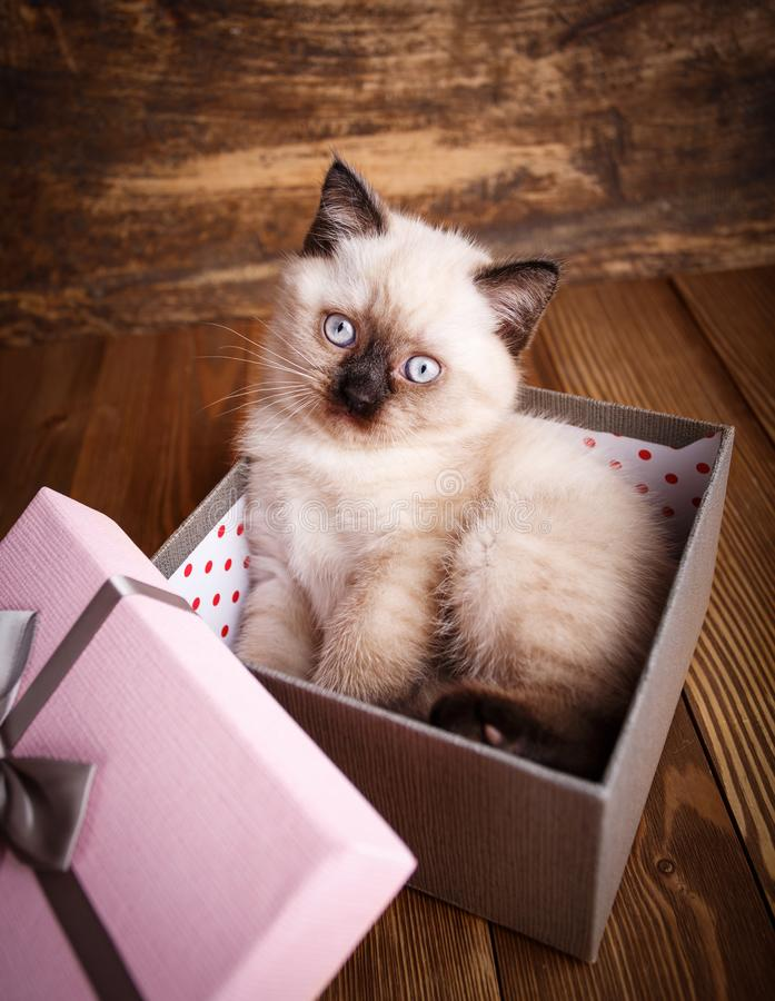 Free Scottish Straight Cat Cream Color. The Cat Look At The Camera Royalty Free Stock Photo - 143956305