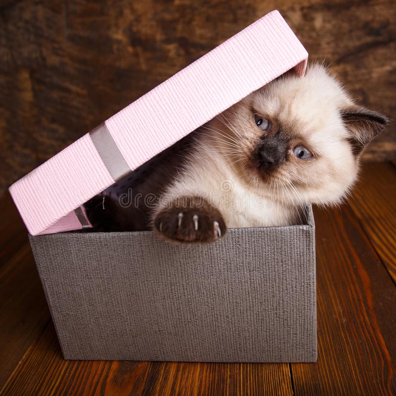 Free Scottish Straight Cat Cream Color. The Cat Opens A Box With A Paw Stock Photo - 143956230
