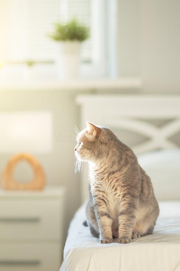 Scottish straight cat stock photos