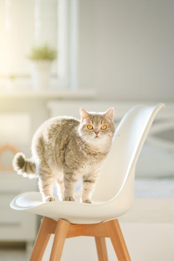 Scottish straight cat royalty free stock images