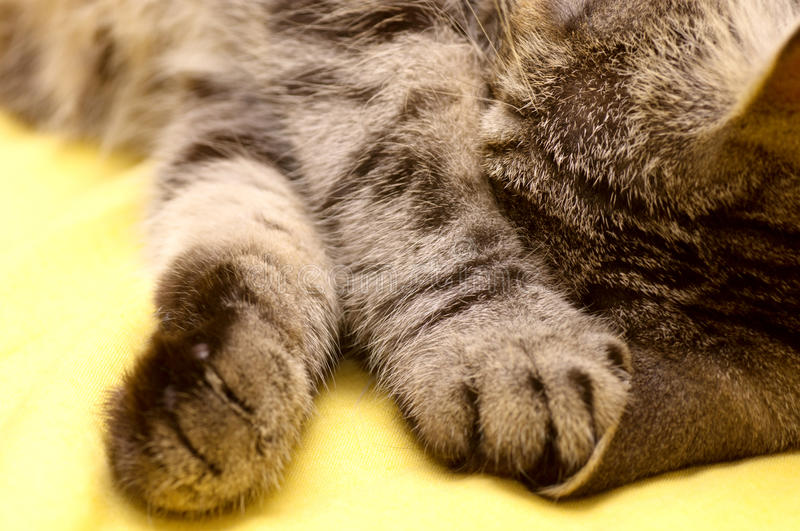 Download Scottish-straight gray cat stock image. Image of catch - 33637429