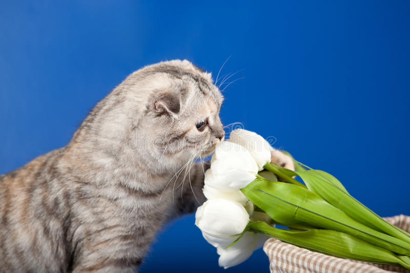 Download Scottish Straight kitten stock photo. Image of close - 28083514