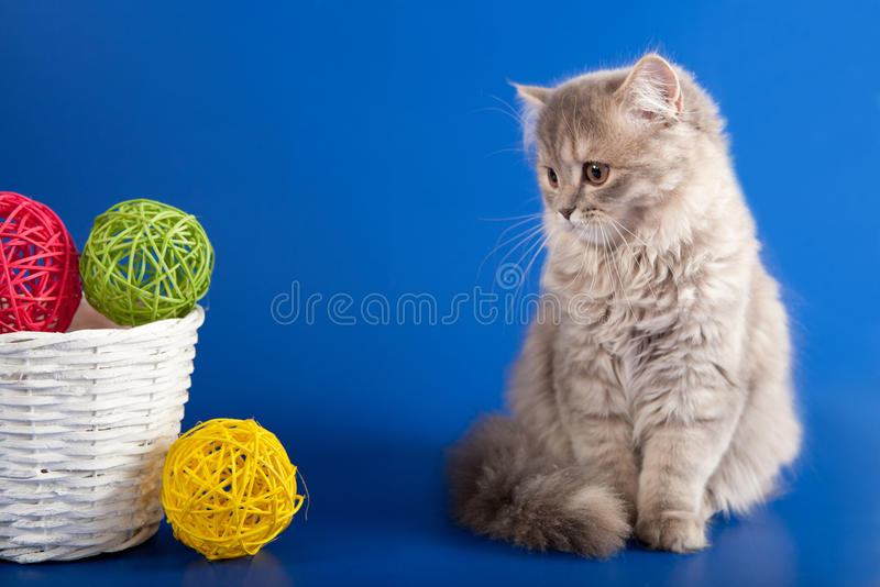 Download Scottish Straight kitten stock image. Image of eyes, culture - 28083571