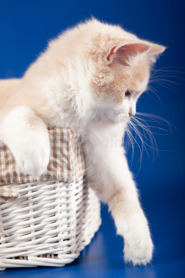Download Scottish Straight kitten stock image. Image of pedigreed - 28083601