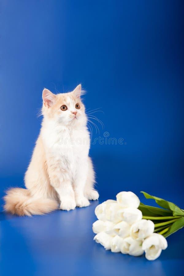 Download Scottish Straight kitten stock image. Image of beautiful - 30308705
