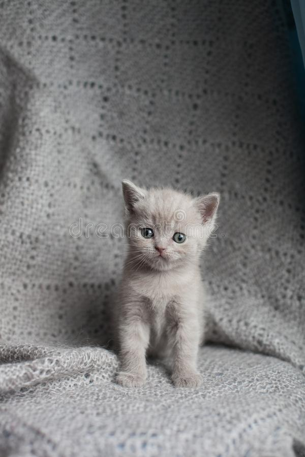 Scottish straight kitten sitting and looking at camera. Gray straight-eared cat stock images