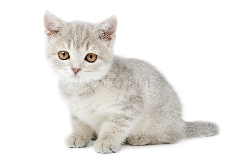 Scottish Straight Kitten  On White Royalty Free Stock Images
