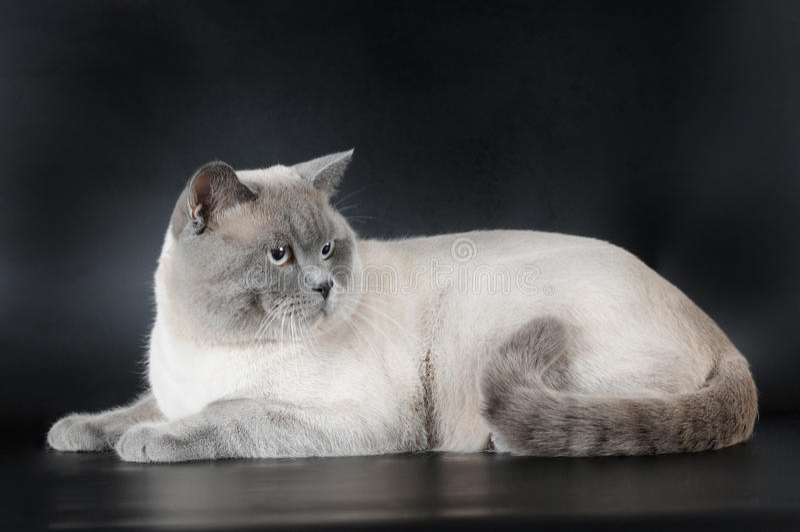 Scottish strait cat lying on black background royalty free stock image