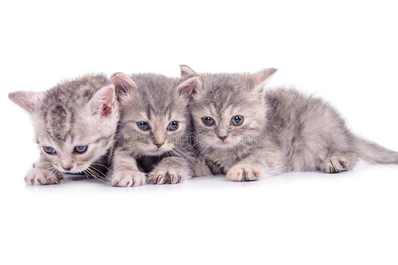 Scottish tabby kittens stock photos