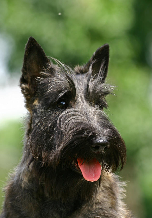The Scottish Terrier royalty free stock images