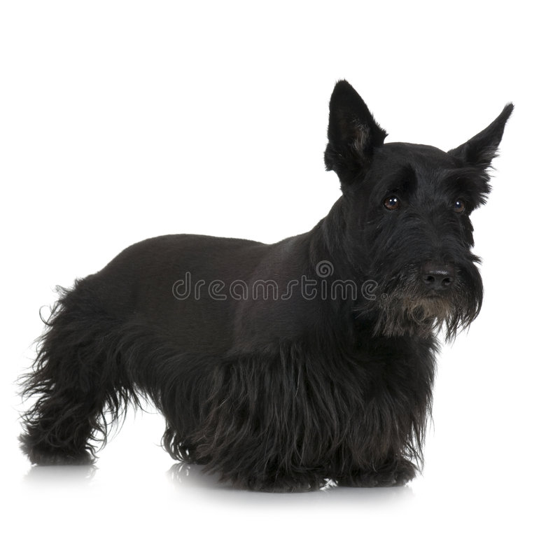 Scottish Terrier royalty free stock photo