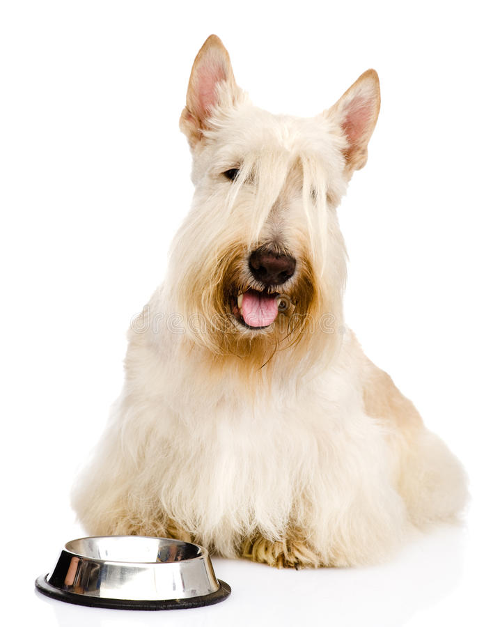Scottish Terrier begging for food. looking at camera. isolated o.  stock photos
