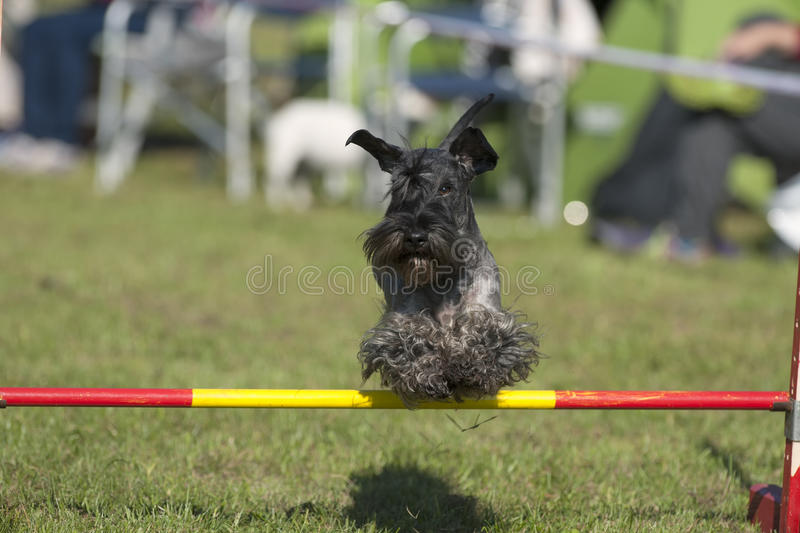 Scottish Terrier dog on agility course. Photography of Scottish Terrier dog on agility course stock photography