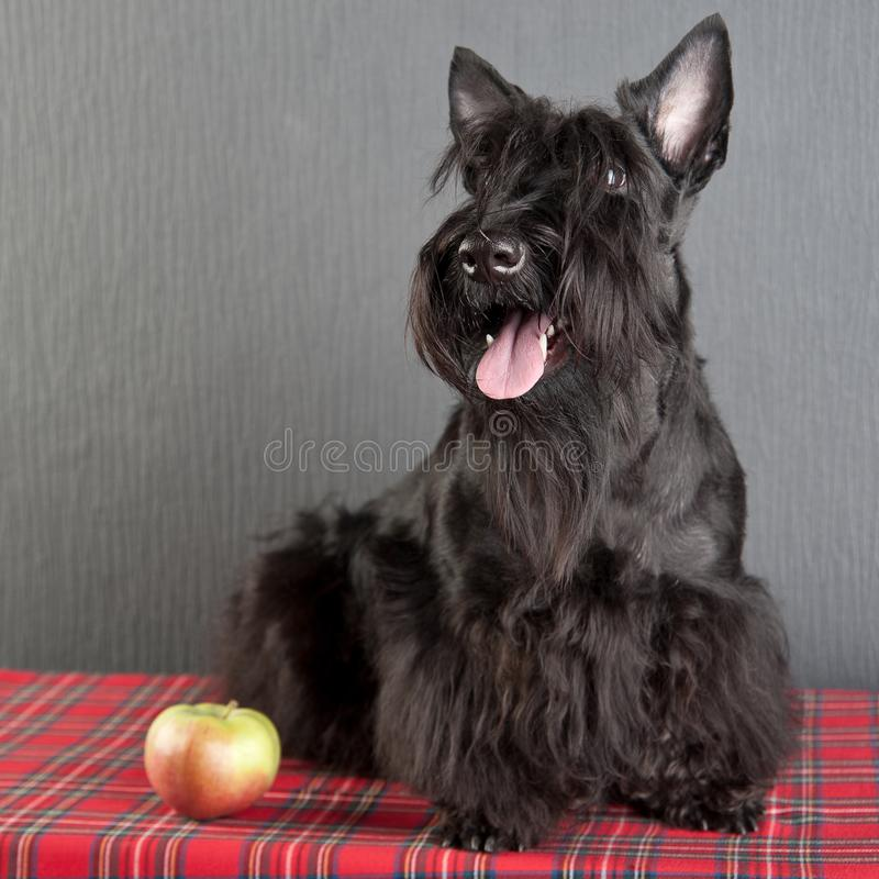 Young scottish terrier on a tartan cloth stock photo
