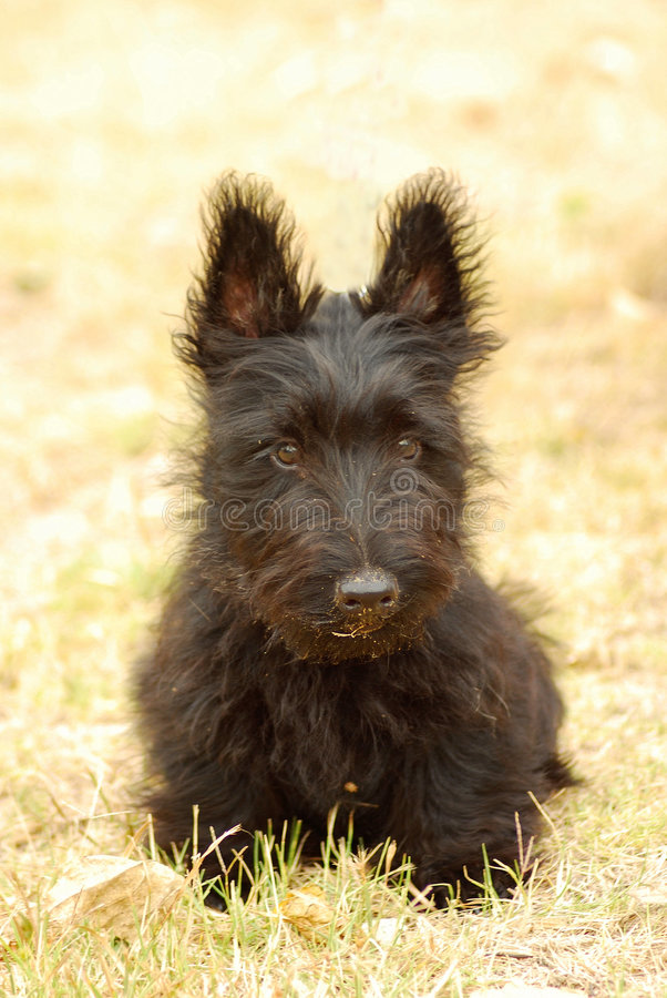 Scottish Terrier puppy. Outdoor front view of a cute black Scottish Terrier puppy (focus on face) sitting in the grass and staring royalty free stock photography