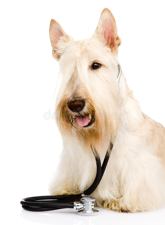 Scottish Terrier with a stethoscope on his neck. isolated on white background. Scottish Terrier with a stethoscope on his neck. isolated on whi royalty free stock image