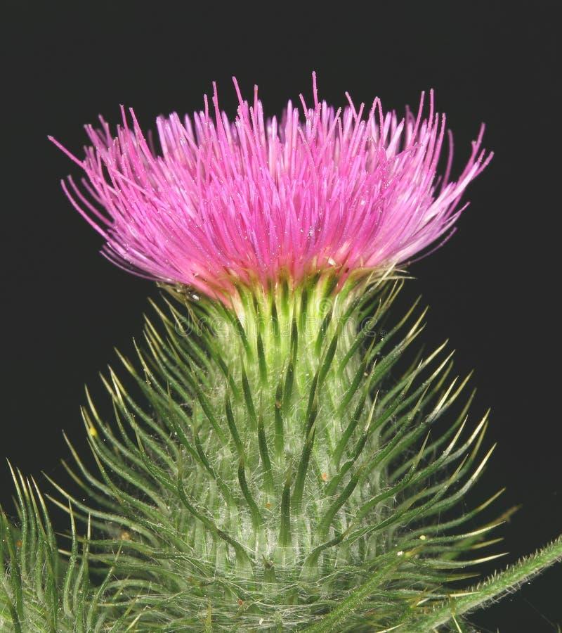 Scottish thistle stock photos