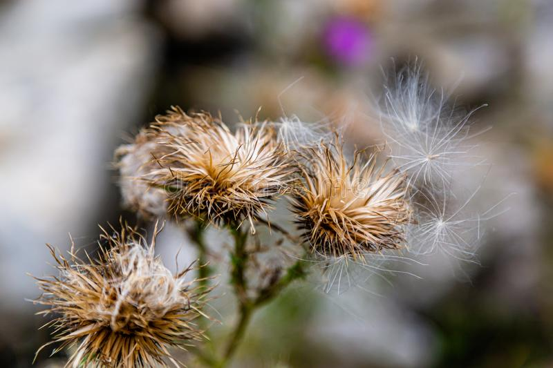 Scottish thistle Flower of Scotland in dispersal mode. Dried Scottish or spear thistle Flower of Scotland with many seeds flying away stock image