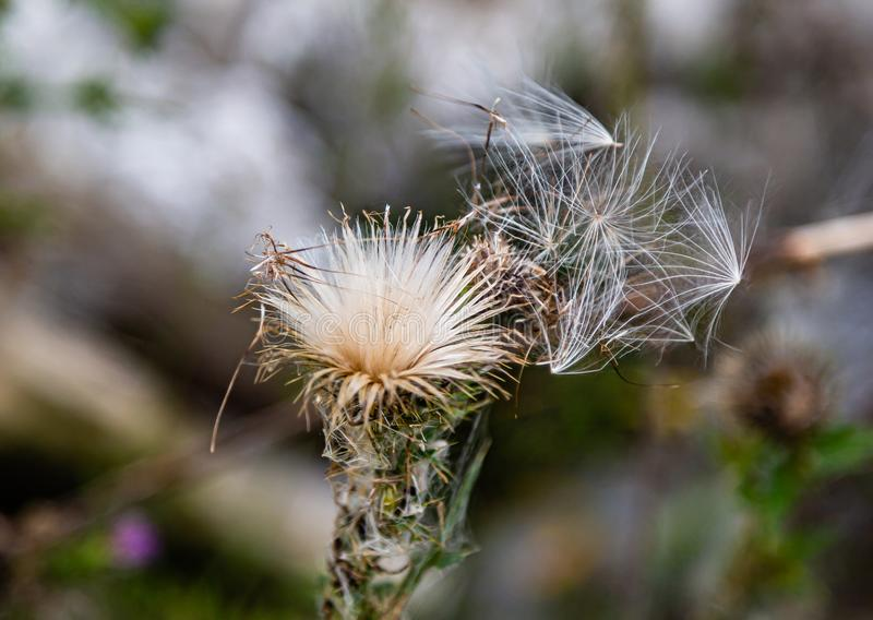 Scottish thistle Flower of Scotland in dispersal mode. Dried Scottish or spear thistle Flower of Scotland with many seeds flying out in dispersal mode. This is stock photo