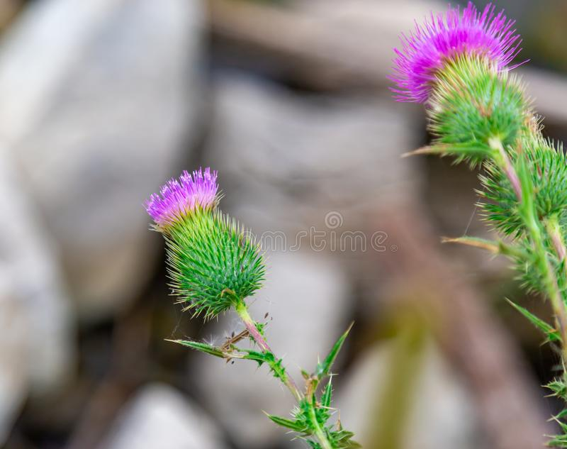Scottish thistle Flower of Scotland. Scottish or spear thistle Flower of Scotland as seen in a garden royalty free stock photo