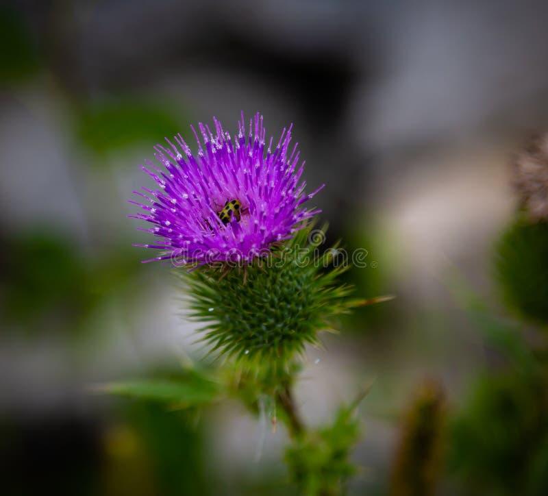 Scottish thistle Flower of Scotland. Scottish or spear thistle Flower of Scotland with a cucumber beetle. Purple. Beautiful stock photography