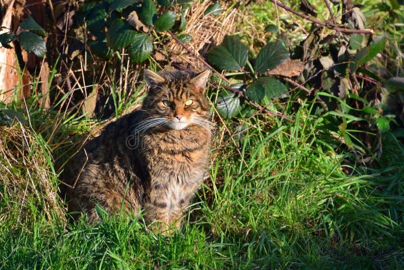 Scottish wild cat royalty free stock photos