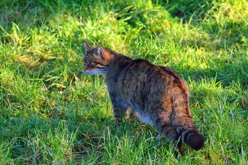 Scottish wild cat stock photography