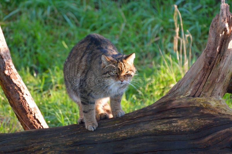 Scottish wild cat stock images
