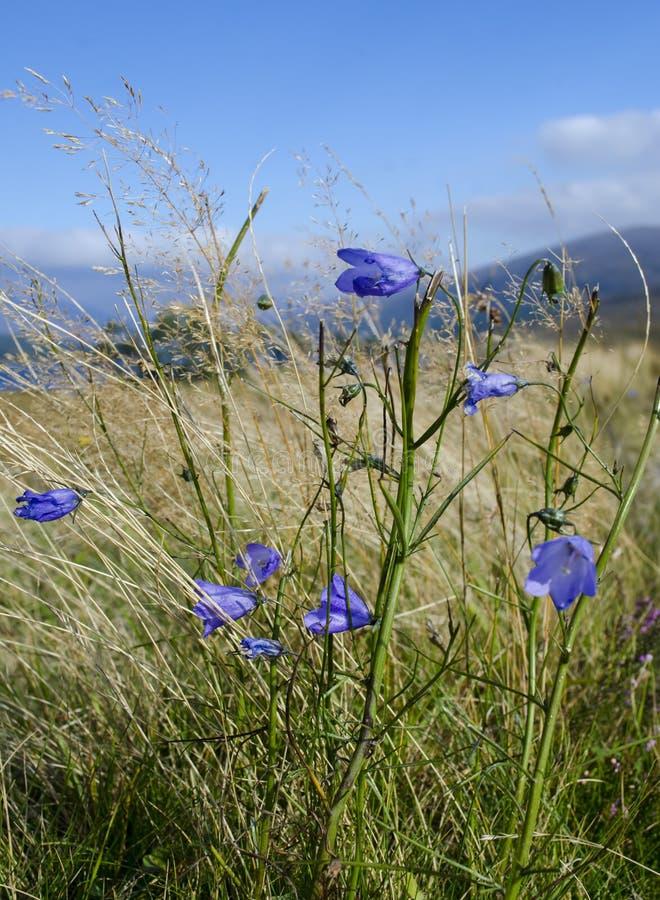 Scottish Wild Flowers in Corrour stock image