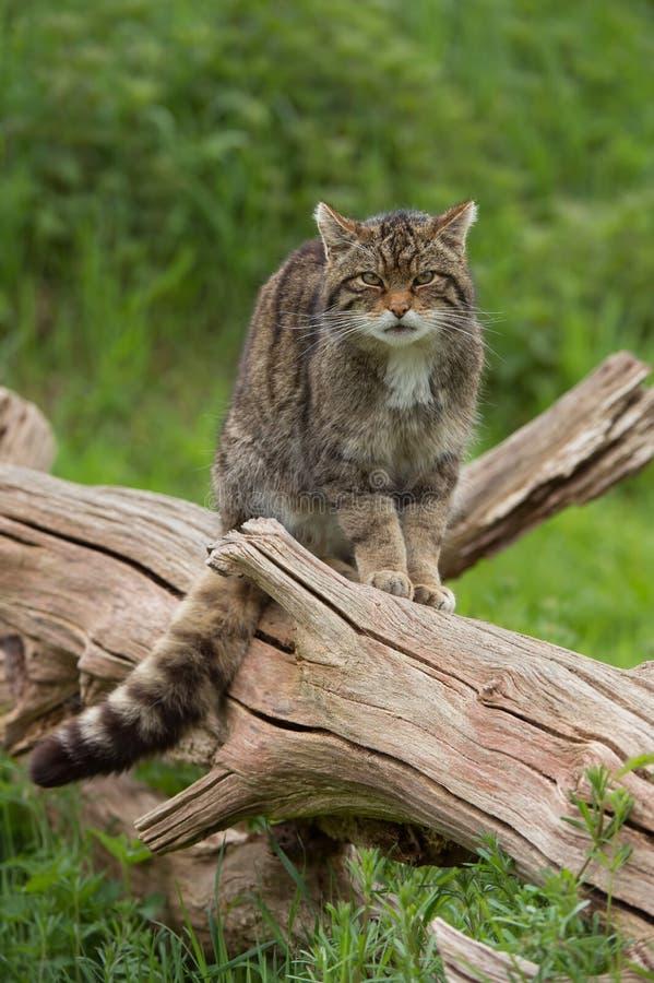 Free Scottish Wildcat Felis Silvestris Grampia Stock Images - 82542354