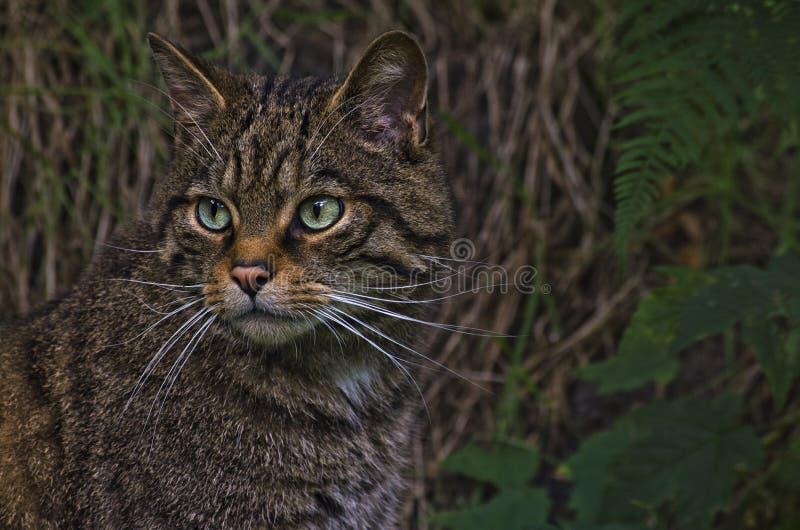 Scottish Wildcat royalty free stock photos
