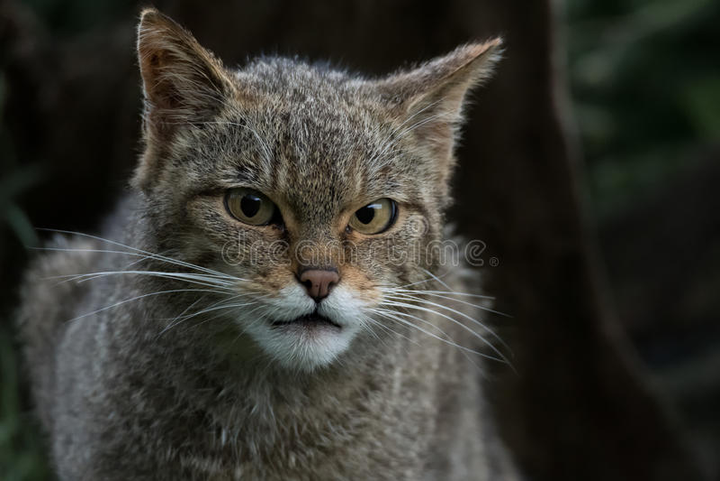 Scottish Wildcat stock image