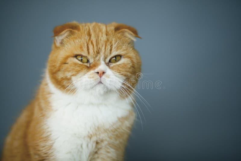 Scottishfaltenkatzen stockbilder