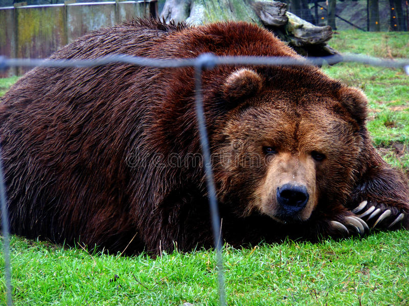 Scowl медведя стоковое фото rf