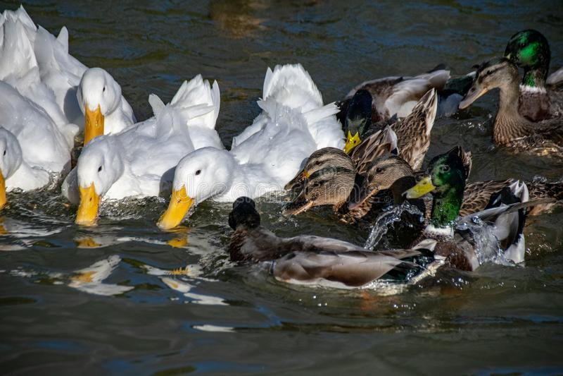 Scramble in the duck pond between mallard and white pekin ducks for food stock photos