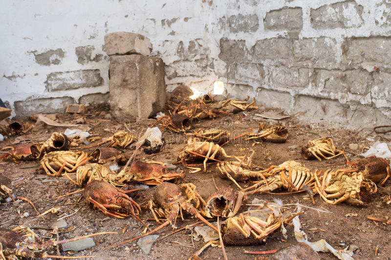 Scrapyard of illegally caught lobsters stock photos