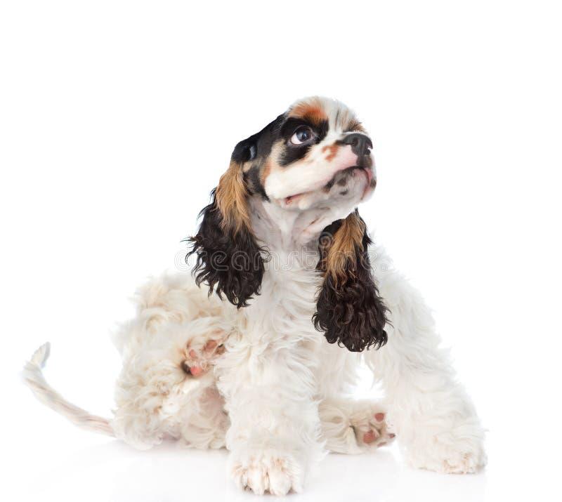 Scratch del cucciolo di cocker spaniel Isolato su priorità bassa bianca fotografia stock