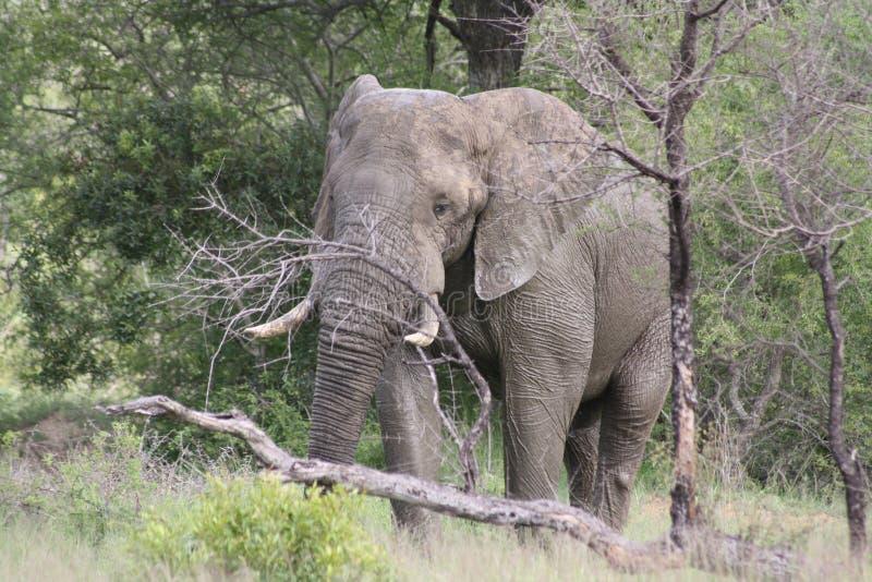 Scratch dell'elefante di toro sull'albero fotografia stock libera da diritti