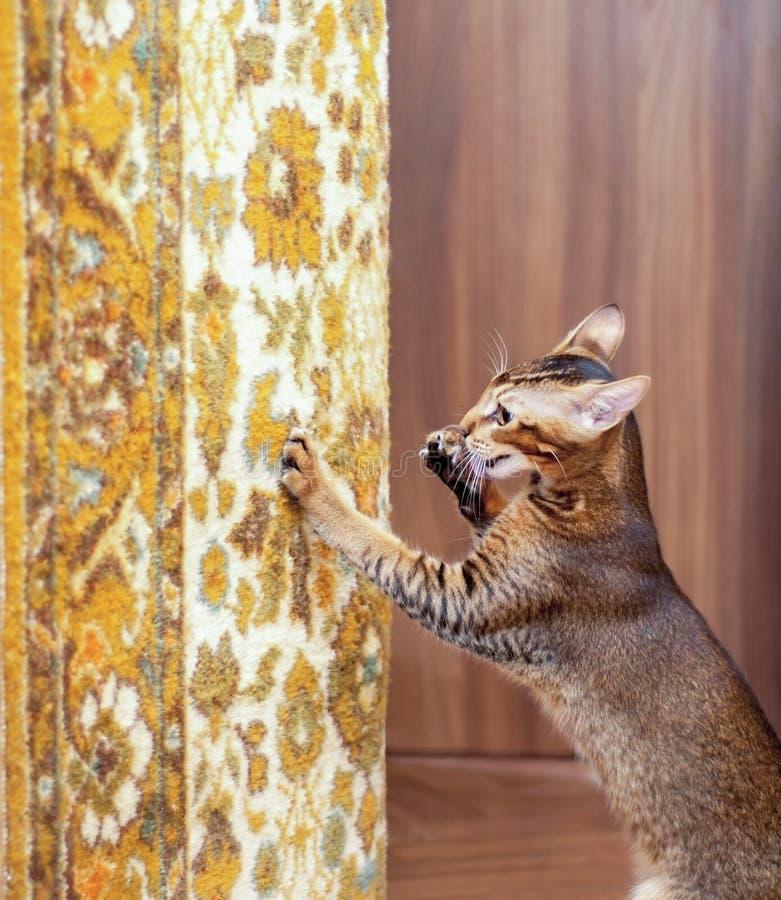 Scratch di gatto il tappeto fotografia stock libera da diritti