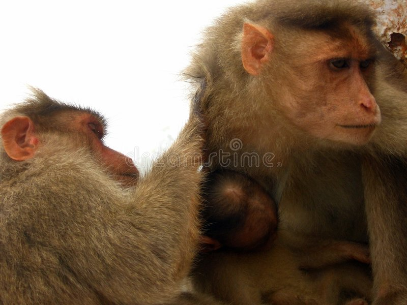 Scratch my back. A monkey removes ticks from the fur of its fellow monkey stock photos