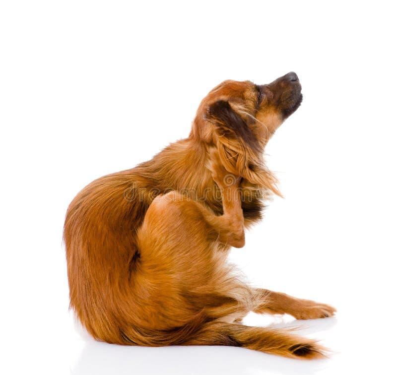 Scratch russo del terrier di giocattolo Isolato su priorità bassa bianca fotografie stock