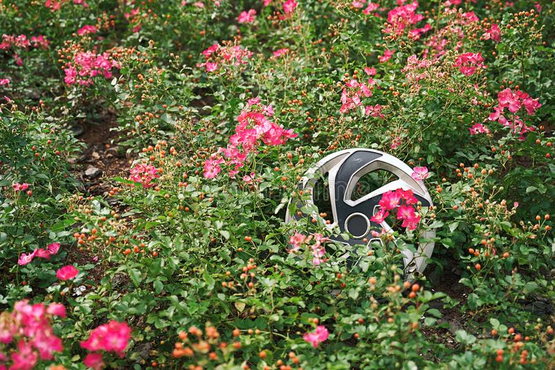 Scratched broken hubcap or wheel rim cover found in the flower bed by the road after a car accident. Hubcap or wheel rim cover lying among pink flowers after royalty free stock image