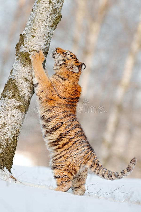 Scratching tiger with snowy face. Tiger in wild winter nature. Amur tiger running in the snow. Action wildlife scene, danger anim. Al royalty free stock photo