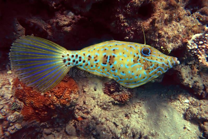 scrawled filefish стоковая фотография rf