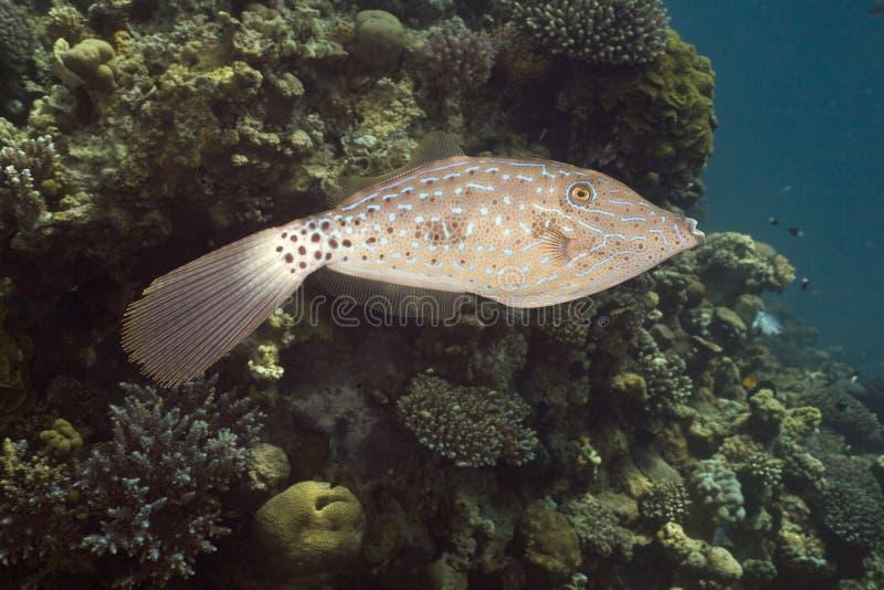 Scrawled Filefish (aluterus scriptus) lizenzfreie stockfotos
