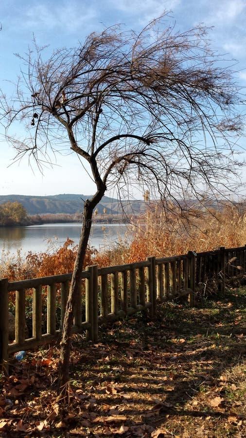 Scrawny tree by the lake stock photos