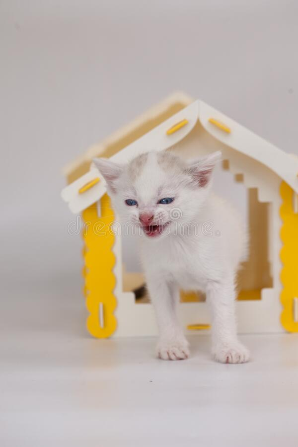 Scream concept. Call and agitation. Little white kitten in the house. Mortgage end. Requirement for improved living. Kitten on. A white background stock photos
