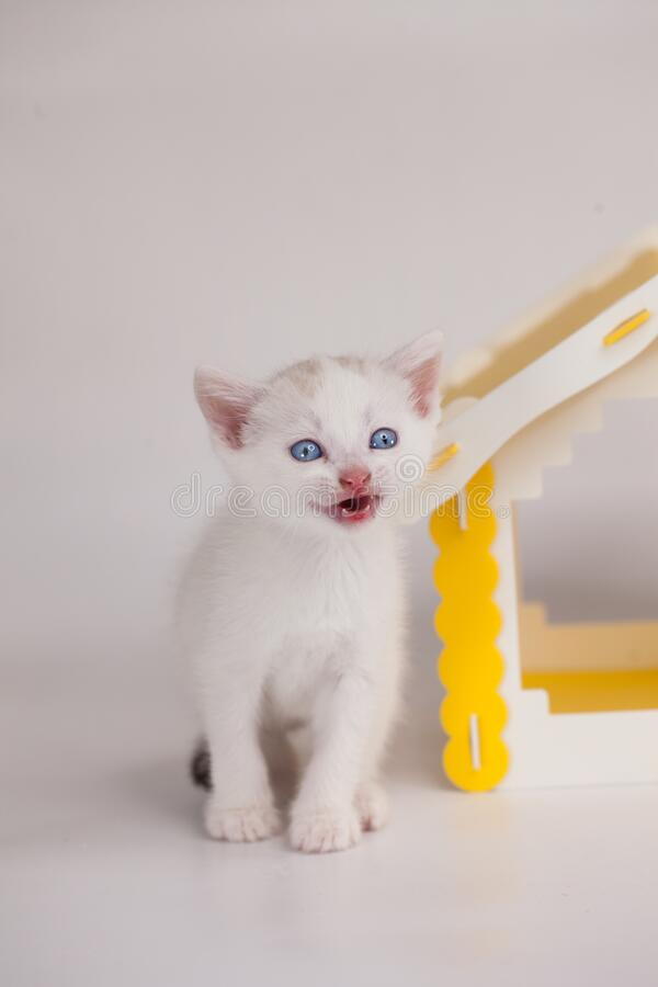 Scream concept. Call and agitation. Little white kitten in the house. Mortgage end. Requirement for improved living. Kitten on. A white background royalty free stock photography