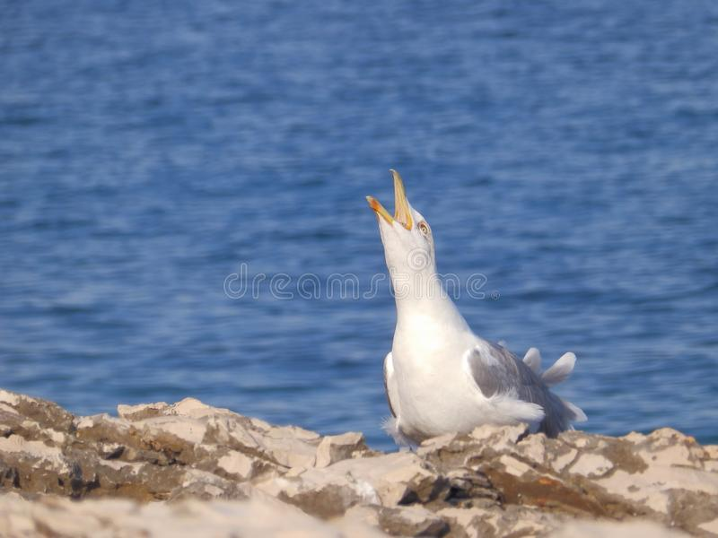 A scream of gull royalty free stock image