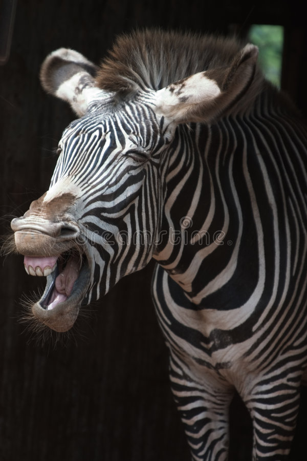 The scream of a zebra royalty free stock image